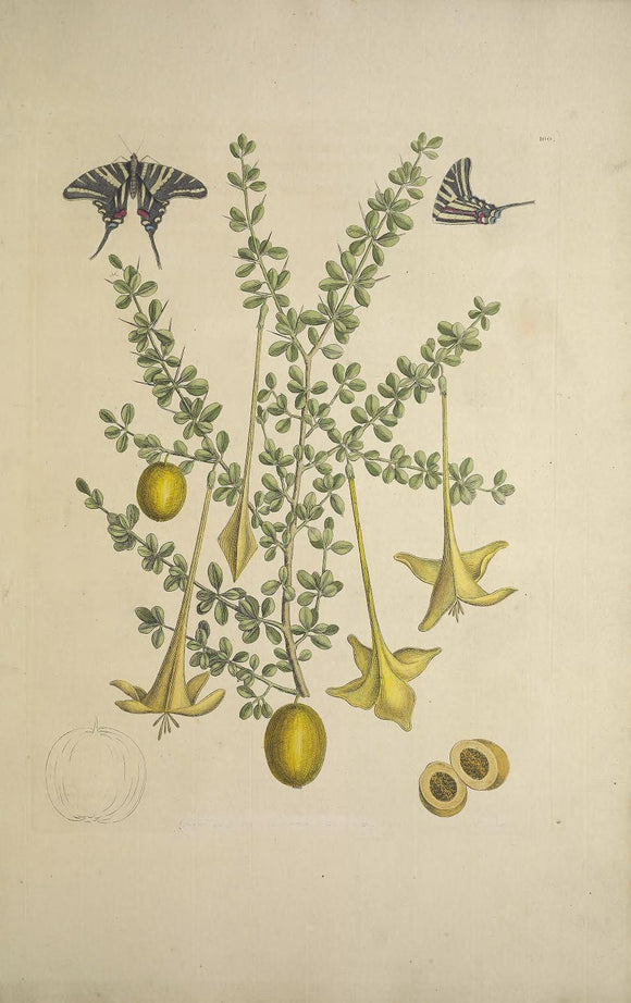 CATESBY, Mark (1683 – 1749) Vol.II, Tab. 100, Frutex Spinosus Buxi