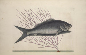 CATESBY, Mark (1683 – 1749) Vol.II, Tab. 13, The Bone-Fish and The Sea-Feather