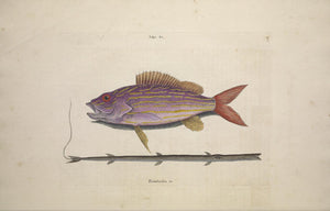 CATESBY, Mark (1683 – 1749) Vol.II, Tab. 17, The Lane-snapper and The Tobaccopipe-Fish