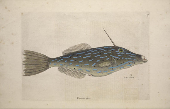 CATESBY, Mark (1683 – 1749) Vol.II, Tab. 19, The Bahama Unicorn Fish