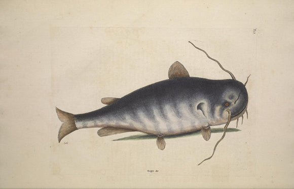 CATESBY, Mark (1683 – 1749) Vol.II, Tab. 23, The Cat Fish