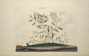 CATESBY, Mark (1683 – 1749) Vol.II, Tab. 30, The Green Gar-Fish