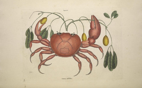 CATESBY, Mark (1683 – 1749) Vol.II, Tab. 32, The Land Crab