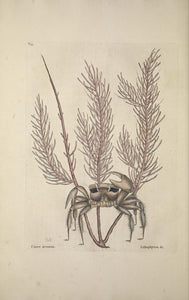 CATESBY, Mark (1683 – 1749) Vol.II, Tab. 35, The Sand Crab