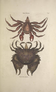 CATESBY, Mark (1683 – 1749) Vol.II, Tab. 36, The red motled Rock Crab and The rough-shelled Crab