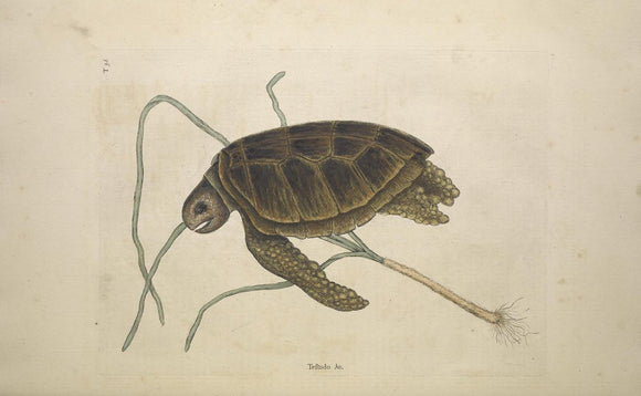 CATESBY, Mark (1683 – 1749) Vol.II, Tab. 38, The green Turtle
