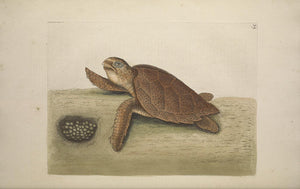 CATESBY, Mark (1683 – 1749) Vol.II, Tab. 39, The Hawks-bill Turtle
