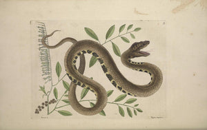 CATESBY, Mark (1683 – 1749) Vol.II, Tab. 43, The Water Viper