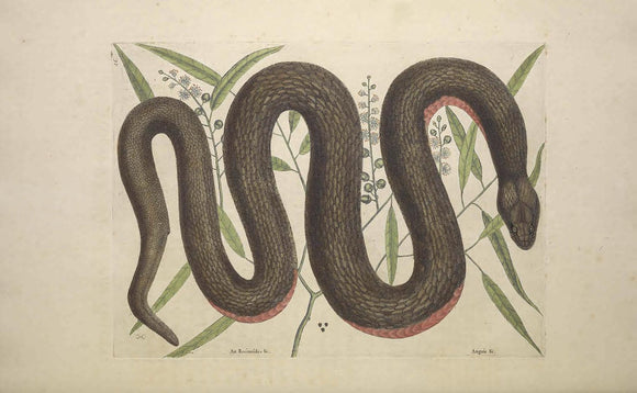 CATESBY, Mark (1683 – 1749) Vol.II, Tab. 46, The Copper-belly Snake