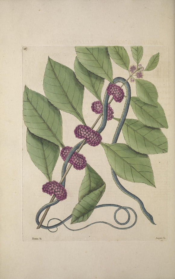 CATESBY, Mark (1683 – 1749) Vol.II, Tab. 47, The blueish green Snake