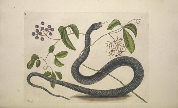 CATESBY, Mark (1683 – 1749) Vol.II, Tab. 48, The Black Snake