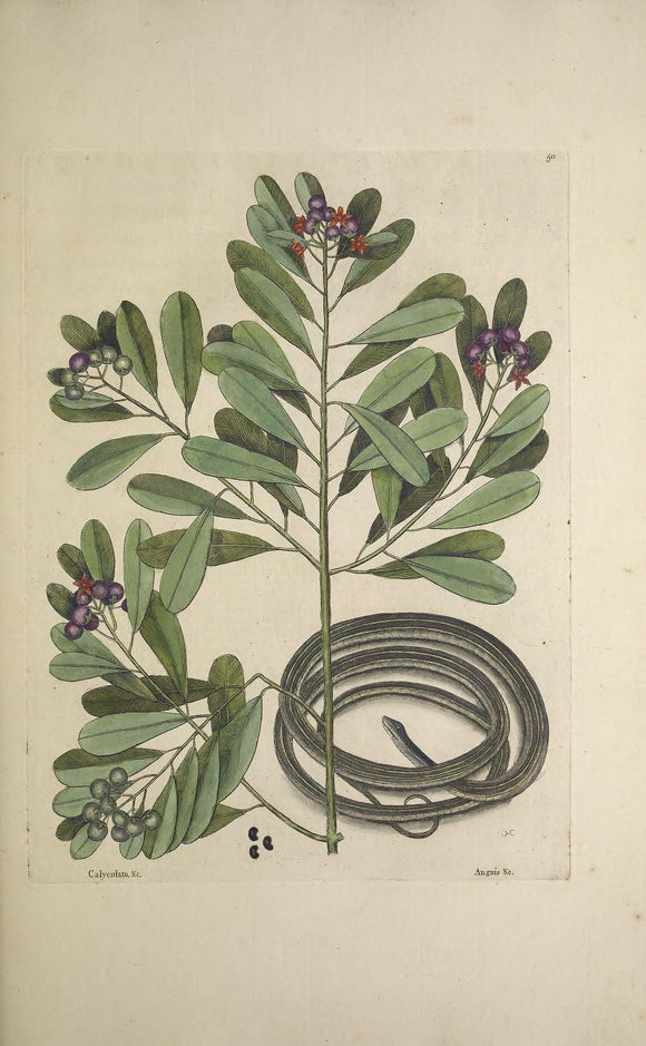 CATESBY, Mark (1683 – 1749) Vol.II, Tab. 50, The Ribbon-Snake and Winter's Bark