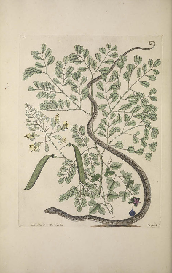 CATESBY, Mark (1683 – 1749) Vol.II, Tab. 51, The Spotted Ribbon-Snake, Brasiletto, Passion-flower