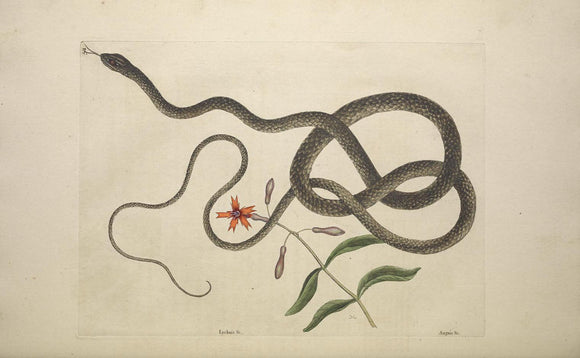 CATESBY, Mark (1683 – 1749) Vol.II, Tab. 54, The Coach-Whip Snake