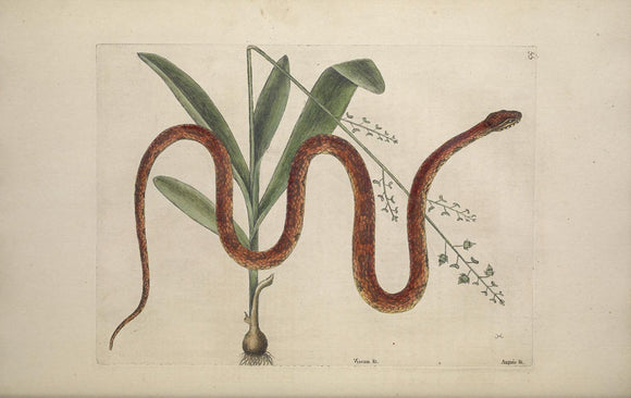 CATESBY, Mark (1683 – 1749) Vol.II, Tab. 55, The Corn Snake