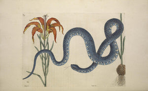 CATESBY, Mark (1683 – 1749) Vol.II, Tab. 58, The Wampum Snake, The Red Lily