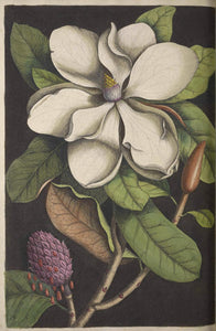 CATESBY, Mark (1683 – 1749) Vol.II, Tab. 61, The Laurel-Tree of Carolina