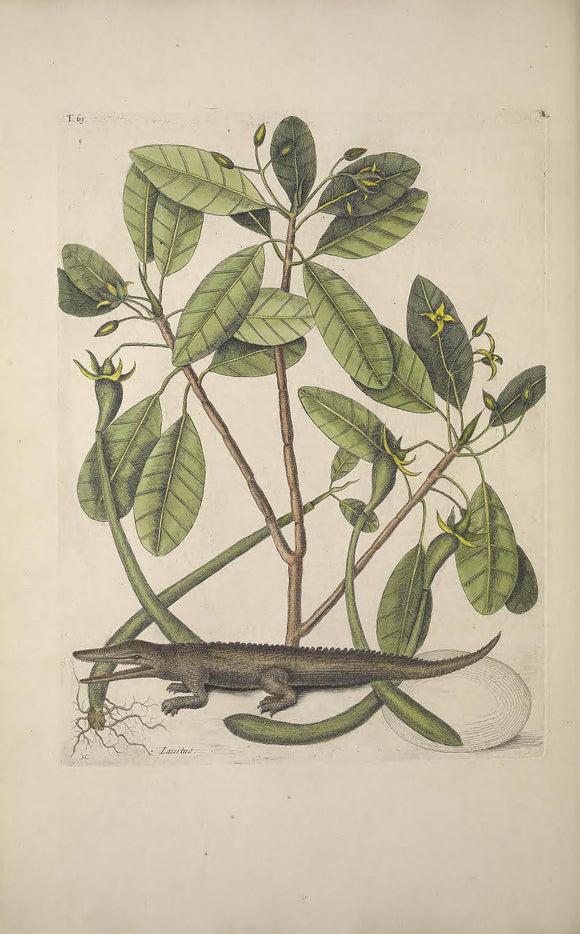 CATESBY, Mark (1683 – 1749) Vol.II, Tab. 63, The Alligator, The Mangrove-Tree