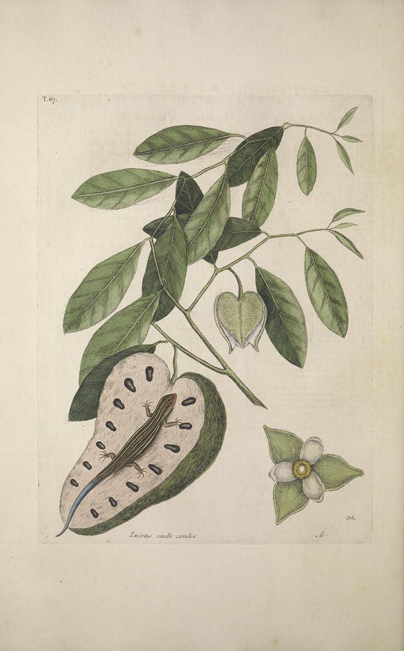 CATESBY, Mark (1683 – 1749) Vol.II, Tab. 67, The Blue Tail Lizard, Custard-Apple