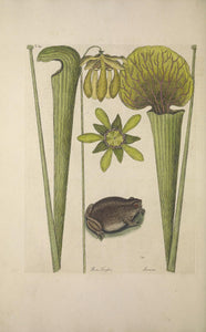 CATESBY, Mark (1683 – 1749) Vol.II, Tab. 69, The Land Frog, Pitcher Plants
