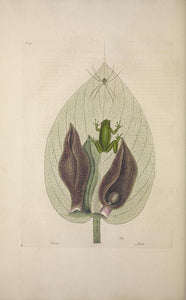 CATESBY, Mark (1683 – 1749) Vol.II, Tab. 71, The Green-Tree Frog, The Scunk Weed