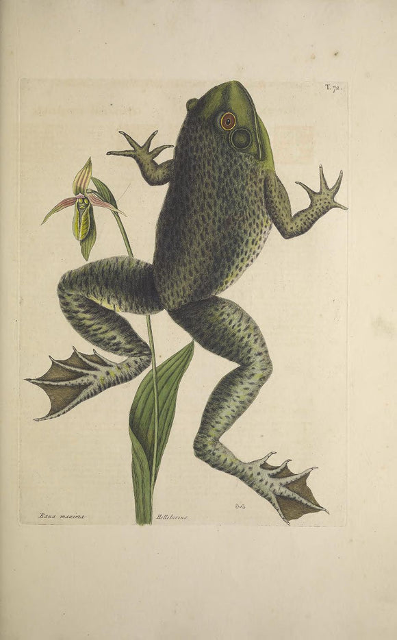 CATESBY, Mark (1683 – 1749) Vol.II, Tab. 72, The Bull-Frog, The Lady's Slipper of Pensylvania
