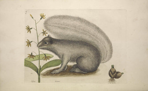 CATESBY, Mark (1683 – 1749) Vol.II, Tab. 74, The Grey Fox-Squirrel
