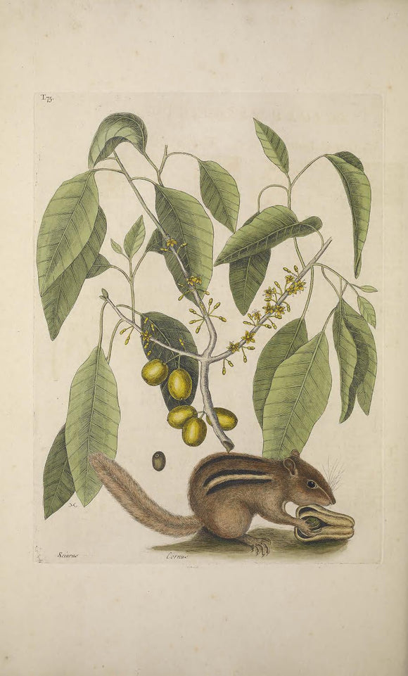 CATESBY, Mark (1683 – 1749) Vol.II, Tab. 75, The Ground-Squirrel, The Mastick Tree