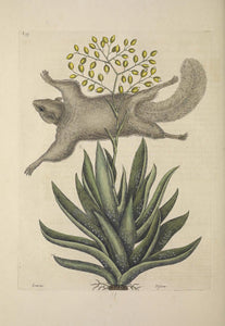 CATESBY, Mark (1683 – 1749) Vol.II, Tab. 77, The Flying Squirrel, Its Posture and Manner of Flying.