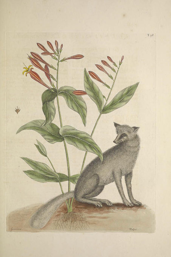 CATESBY, Mark (1683 – 1749) Vol.II, Tab. 78, The Grey Fox, The Indian Pink