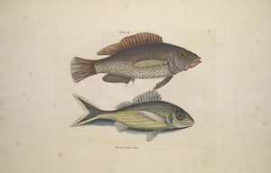 CATESBY, Mark (1683 – 1749) Vol.II, Tab. 7, The Negro Fish and The Black-Tail