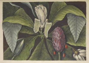 CATESBY, Mark (1683 – 1749) Vol.II, Tab. 80, The Umbrella-Tree