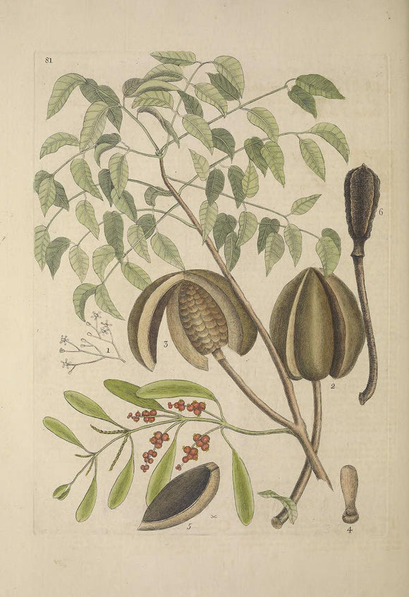 CATESBY, Mark (1683 – 1749) Vol.II, Tab. 81, The Mahogany Tree, Misleto