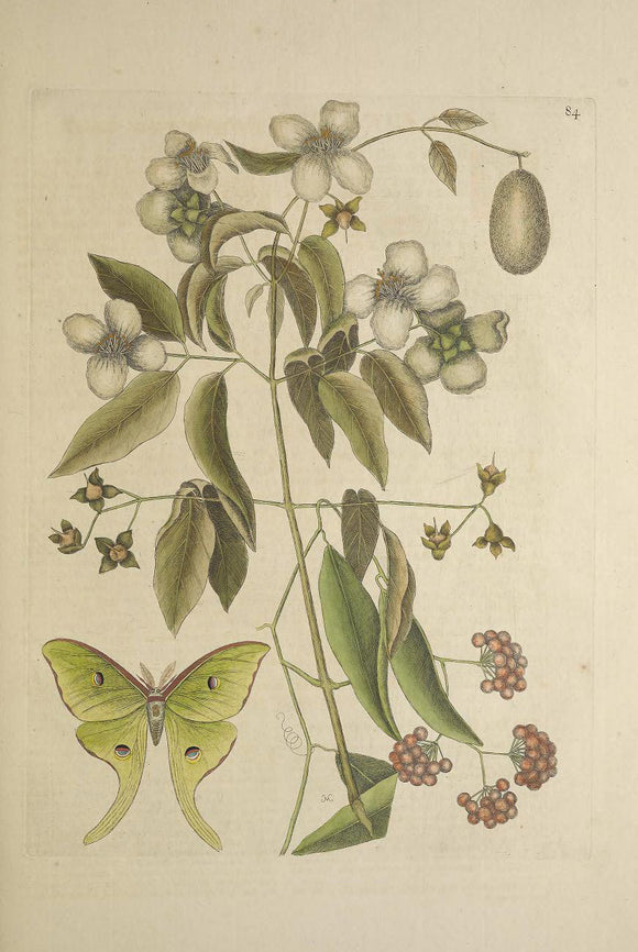 CATESBY, Mark (1683 – 1749) Vol.II, Tab. 84, Philadelphus flore albo
