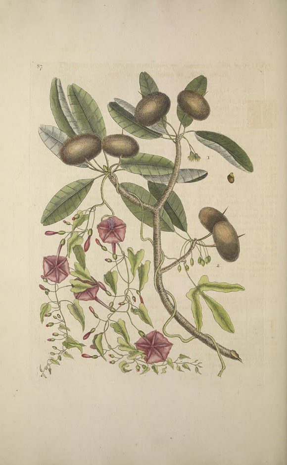 CATESBY, Mark (1683 – 1749) Vol.II, Tab. 87, The Sappadillo Tree, Convolvulus