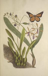 CATESBY, Mark (1683 – 1749) Vol.II, Tab. 88, Viscum radice bulbosa