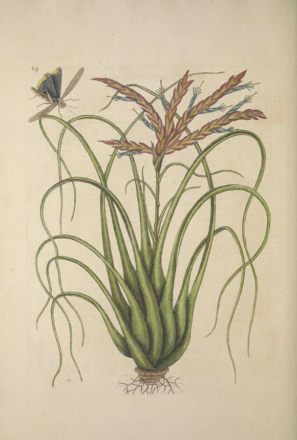CATESBY, Mark (1683 – 1749) Vol.II, Tab. 89, The Wild Pine, Grasshopper