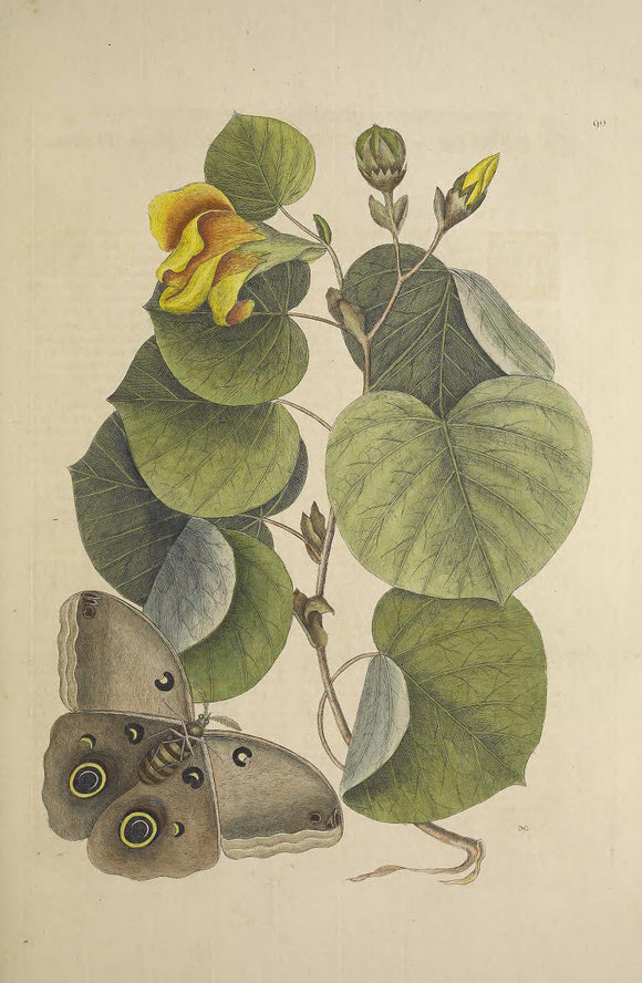 CATESBY, Mark (1683 – 1749) Vol.II, Tab. 90, The Maho-Tree, moth