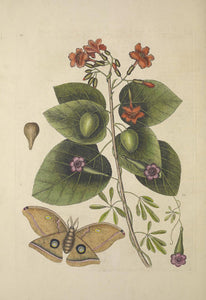 CATESBY, Mark (1683 – 1749) Vol.II, Tab. 91, Tree, Convolvulus, The Great Moth