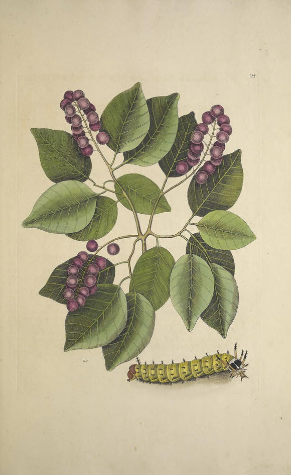 CATESBY, Mark (1683 – 1749) Vol.II, Tab. 94, Pigeon Plum, The Great Horned Caterpillar