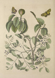 CATESBY, Mark (1683 – 1749) Vol.II, Tab. 95, The Mancaneel Tree, Misleto, butterfly