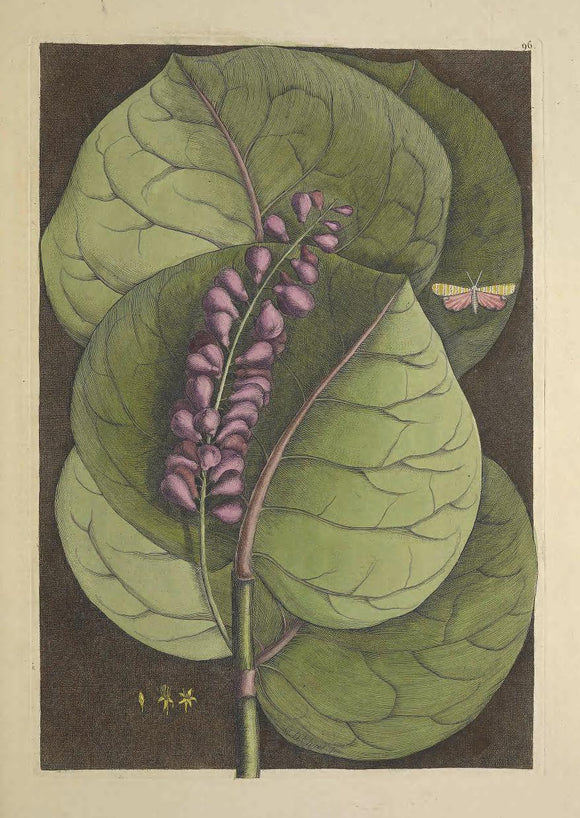 CATESBY, Mark (1683 – 1749) Vol.II, Tab. 96, The Mangrove Grape-Tree, moth