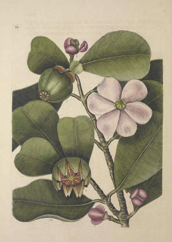 CATESBY, Mark (1683 – 1749) Vol.II, Tab. 99, The Balsam-Tree