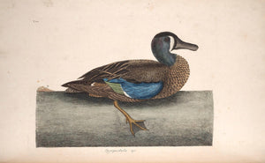 CATESBY, Mark (1683 – 1749) Vol.I, Tab. 100, The White-Face Teal