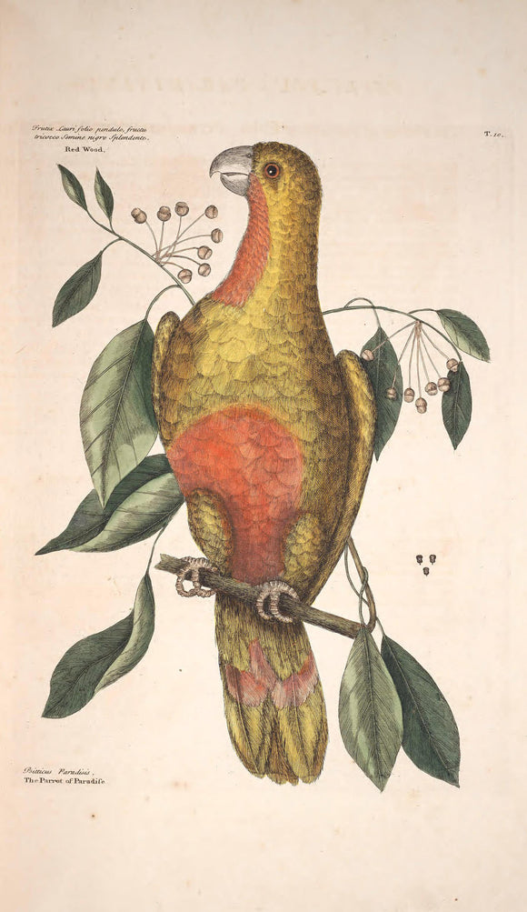 CATESBY, Mark (1683 – 1749) Vol.I, Tab. 10, The Parrot of Paradise of Cuba