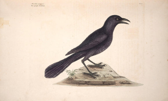 CATESBY, Mark (1683 – 1749) Vol.I, Tab. 12, The Purple Jack-Daw