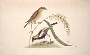 CATESBY, Mark (1683 – 1749) Vol.I, Tab. 14, The Rice-Bird