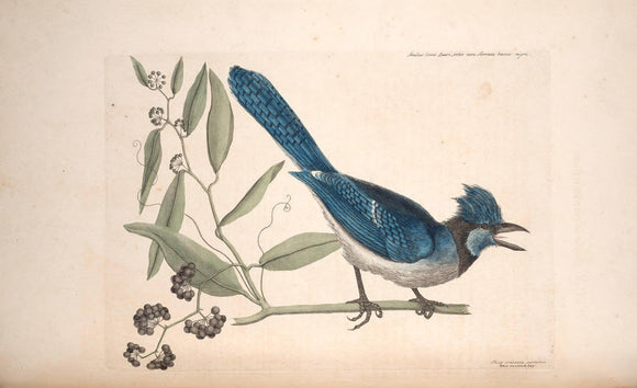 CATESBY, Mark (1683 – 1749) Vol.I, Tab. 15, The Blue Jay and The Bay-Leaved Smilax