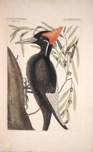 CATESBY, Mark (1683 – 1749) Vol.I, Tab. 16, The largest white-bill Wood-pecker and The Willow-Oak