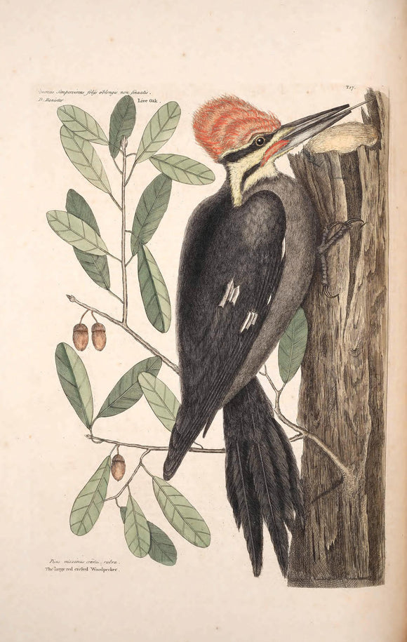 CATESBY, Mark (1683 – 1749) Vol.I, Tab. 17, The larger red-crested Wood-pecker and The Live Oak